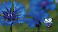 Le bleuet a été utilisé comme symbole secret par les nationaux-socialistes dans les années 1930, en Autriche.