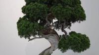 Ce couple de Japonais, maîtres bonsaï depuis cinq générations, s'est fait voler sept plantes, pour un butin estimé à environ 100 000 euros.