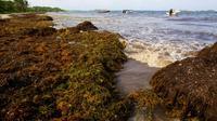 La plage guadeloupéenne de Sainte-Anne polluée par des sargasses en 2011 [PATRICE COPPEE / AFP/Archives]