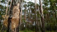 58% des espèces d'arbres endémiques, qui ne poussent qu'en Europe, sont menacées d'extinction [John MACDOUGALL / AFP/Archives]