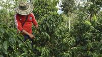 Un agriculteur surveille les fruits du caféier sur la plantation de  La Tola à El Tambo, dans le département de Narino le 21 octobre 2015 [Luis Acosta / AFP]