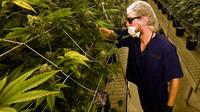 Certaines entreprises auraient aspergé leurs plants de cannabis avec le pesticide myclobutanil, malgré son interdiction par l'Etat.