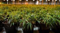 Le cannabis thérapeutique pourrait être autorisé en France.