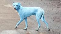 Les chiens doivent leur couleur à des déchets toxiques