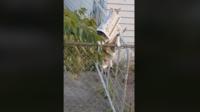 Le félin escaladait en effet la clôture du voisin pour aller dérober son journal et le rapporter à sa maîtresse.