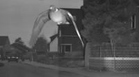 Un radar a surpris un pigeon en plein vol, 15 km/h au-dessus de la limite autorisée.