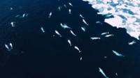 La vue aérienne de ces bélugas a permis d'en dénombrer une centaine.
