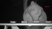 Un ours qui possède des goûts de luxe