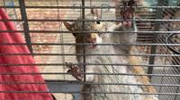 L'écureuil sous meth a depuis été relâché dans la nature par la police.