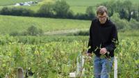 Le viticulteur Louis Moreau dans ses vignobles endommagés par la grêle, le 1er septembre 2015 à Chablis  [ERIC FEFERBERG / AFP]