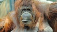 L'orang-outan Nénette.
