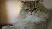 Bisou le Chat a survécu à un voyage de 5500 km enfermé dans une valise placée dans la soute d'un avion