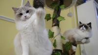 Chang Chin-yi possède plusieurs dizaines de chats persans à Nouveau Taipei, dont ces deux-là.