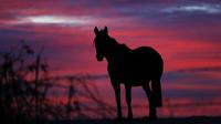 La région a connu une période record de 12 jours dépassant les 42 degrés, provoquant la mort des ces chevaux en liberté.