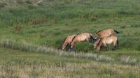 Les chevaux de Przewalski, disparus à la fin des années 1960, ont été réintroduits dans la nature