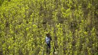 La culture de coca occuperait actuellement 209.000 hectares en Colombie.