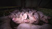 L214 a déposé une plainte pour «mauvais traitements et sévices graves envers des animaux».