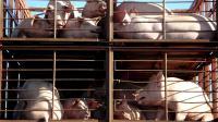 180 cochons sont morts des suites d'un accident survenu sur l'A40