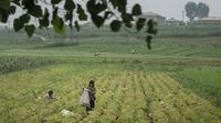Des Nord-Coréens travaillant dans un champ, aux environs de Pyongyang, en juillet 2016.