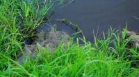 Un photographe a failli être dévoré par un crocodile au Costa Rica