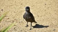 Faire du mal à un corbeau peut coûter cher