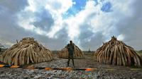 Un membre du Service kényan de la faune (KWS) devant des tas de défenses d'éléphants devant être brûlées, dans le parc national de Nairobi le 28 avril 2016 [TONY KARUMBA / AFP]