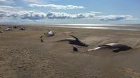 Les scientifiques ayant analysé la scène ont rapporté qu'il s'agit de «globicéphales», ou dauphins-pilotes