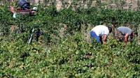 Des hommes vendangent dans un vignoble des Corbières [Pascal Pavani / AFP/Archives]