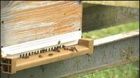 Les abeilles disparaissent dans le Morbihan
