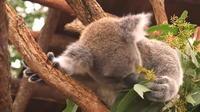 Australie : un vaste plan d'aide pour sauver les koalas