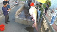 Chine : un esturgeon géant de plus de 500 kg