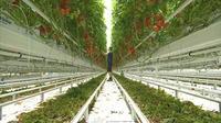 Le Nord-pas-de-calais couve ses tomates