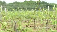 Les vignobles bordelais très affectés par la grêle