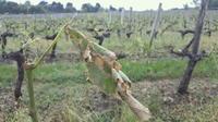 Orages : les viticulteurs de Gironde inquiets