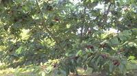 La production de cerise perturbée par les mouches asiatiques