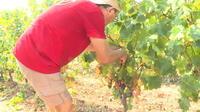 La canicule aide les vignerons