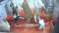 Abattoir de Mauléon : le tribunal rend sa décision aujourd'hui