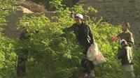 Afghanistan : du pavot à la rose