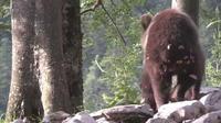 Slovénie : la population d'ours bruns en plein boom