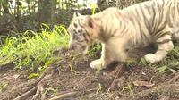 Des tigres blancs jumeaux introduits dans un zoo chinois