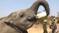 Un éléphant devient ambassadeur au Zimbabwe