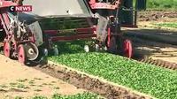 Privés de pesticides, les producteurs de mâche veulent augmenter leurs prix