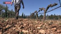 Pour faire face aux sécheresses, les viticulteurs s'organisent