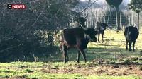 Salont de l'Agriculture : deux sœurs éleveuses de taureaux de Camargue