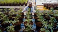 Une employée dans une plantation de cannabis, à Lincoln, Ontario, au Canada, le 12 octobre 2018. [Lars Hagberg / AFP/Archives]