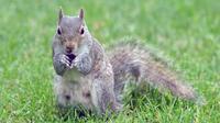 L'écureuil en question est entré dans la maison pour y dévaliser les placards de la cuisine (photo d'illustration).