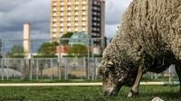 """Un mouton broute à """"La ferme ouverte"""" à Saint-Denis, le 24 avril 2019 [KENZO TRIBOUILLARD / AFP]"""