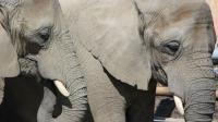Le second éléphant a été électrocuté alors qu'il tentait de sauver le premier, en vain (illustration).