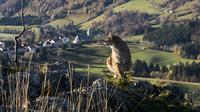 Le lynx est présent dans les vallées du Jura