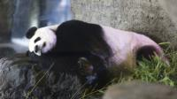 La femelle panda géant Hao Hao enceinte au zoo de Brugelette le 18 mai 2016 [ALEXIS TAMINIAUX / BELGA/AFP/Archives]
